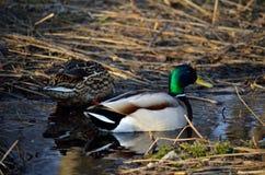 Le canard masculin et femelle penche au printemps la forêt Images stock