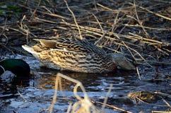 Le canard masculin et femelle penche au printemps la forêt Images libres de droits