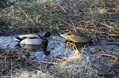 Le canard masculin et femelle penche au printemps la forêt Photographie stock