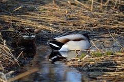 le canard masculin et femelle penche au printemps la forêt recherchant la nourriture Photo libre de droits