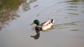 Le canard nage dans l'eau banque de vidéos