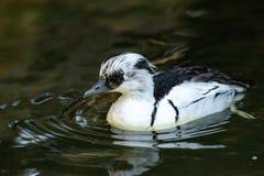 Le canard noir et blanc masculin de Smew a appelé l'albellus de Mergellus photos libres de droits
