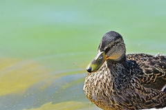 Le canard observe photographie stock