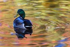 Le canard ou le canard dans le lac de ville ou le plumage de nettoyage de livre dans l'eau colorée en le jaune, le rouge et l'ora images stock