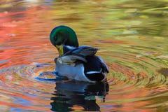 Le canard ou le canard dans le lac de ville ou le plumage de nettoyage de livre dans l'eau colorée en le jaune, le rouge et l'ora photos libres de droits