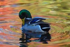Le canard ou le canard dans le lac de ville ou le plumage de nettoyage de livre dans l'eau colorée en le jaune, le rouge et l'ora image stock
