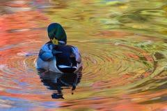 Le canard ou le canard dans le lac de ville ou le plumage de nettoyage de livre dans l'eau colorée en le jaune, le rouge et l'ora images libres de droits