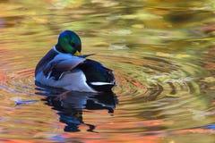 Le canard ou le canard dans le lac de ville ou le plumage de nettoyage de livre dans l'eau colorée en le jaune, le rouge et l'ora photographie stock