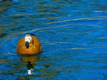 Le canard rouge nage le long de la rivière Photo stock
