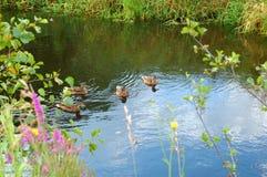 Le canard sauvage dans le flotteur d'été Images libres de droits