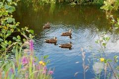 Le canard sauvage dans le flotteur d'été Photo libre de droits