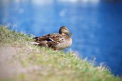 Le canard sauvage femelle se repose sur le rivage herbeux image libre de droits