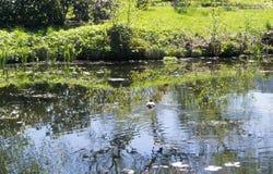 Le canard sauvage flotte à la côte de l'étang Image libre de droits