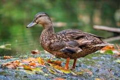 Le canard se tient dans l'eau entourée par des feuilles de chute Photos stock