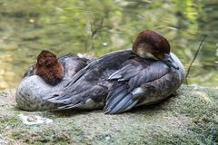 Le canard siffleur eurasien, également connu sous le nom de canard siffleur, penelope de Mareca sur l'eau image stock