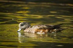 Le canard siffleur masculin boit l'eau dans l'étang Images stock