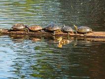 Le caneton nage par un rondin avec les tortues de bronzage Photo stock