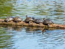 Le caneton nage par un rondin avec les tortues de bronzage Photo libre de droits