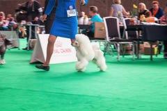 Le caniche blanc de Frence lui montre des tours au jury pendant le wor photo stock