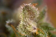 Le cannabis germogliano la macro con i tricomi visibili delle ghiandole del thc aka fotografia stock