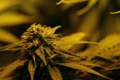 Le cannabis germogliano mostrando le ghiandole ed il pistillo della resina immagini stock