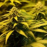 Le cannabis germogliano mostrando le ghiandole ed il pistillo della resina fotografie stock