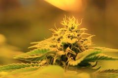 Le cannabis germogliano mostrando le ghiandole ed il pistillo della resina fotografia stock libera da diritti
