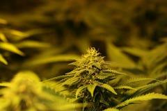 Le cannabis germogliano mostrando le ghiandole ed il pistillo della resina immagini stock libere da diritti