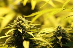 Le cannabis germogliano mostrando le ghiandole ed il pistillo della resina fotografie stock libere da diritti