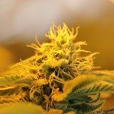 Le cannabis germogliano mostrando le ghiandole ed il pistillo della resina fotografia stock