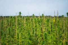 Le cannabis piantano la crescita nel campo Fotografie Stock Libere da Diritti