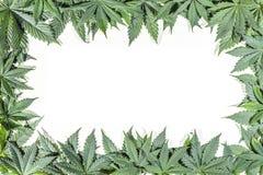 Le cannabis vert pousse des feuilles cadre photo stock