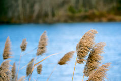 Le canne dei Cattails si avvicinano al lago Immagine Stock Libera da Diritti
