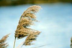 Le canne dei Cattails si avvicinano al lago Fotografie Stock