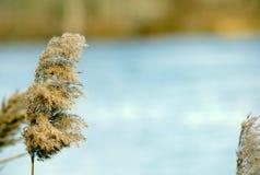 Le canne dei Cattails si avvicinano al lago Immagini Stock