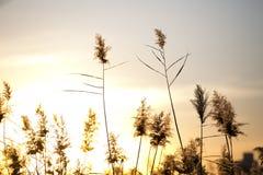 Le canne del tramonto di autunno Immagini Stock Libere da Diritti