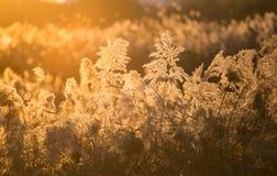 Le canne del tramonto di autunno Fotografie Stock