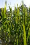 Le canne di verde lungo Immagini Stock
