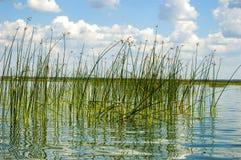 Le canne di verde nel lago Fotografie Stock