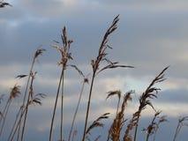 Le canne stanno aspettando gli uccelli per venire Fotografie Stock