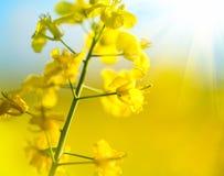Le canola de floraison fleurit le plan rapproché Photo libre de droits