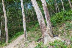 Le caoutchouc cru sur l'arbre en caoutchouc Image stock