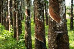 Le caoutchouc de tapement, lifes de plantation en caoutchouc, fond de plantation en caoutchouc, arbres en caoutchouc en Thaïlande Photos stock