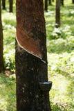 Le caoutchouc de tapement, lifes de plantation en caoutchouc, fond de plantation en caoutchouc, les arbres en caoutchouc en Thaïl Photographie stock libre de droits