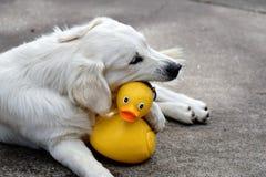 Le caoutchouc Duckie de chien d'arrêt Photo libre de droits