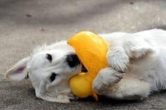 Le caoutchouc Duckie de chien d'arrêt Photos stock