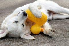 Le caoutchouc Duckie de chien d'arrêt Image libre de droits