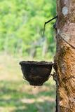 Le caoutchouc naturel se rassemblant de l'arbre en caoutchouc photographie stock