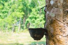 Le caoutchouc naturel se rassemblant de l'arbre en caoutchouc image libre de droits