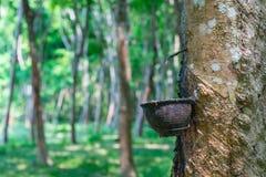 Le caoutchouc naturel se rassemblant de l'arbre en caoutchouc image stock